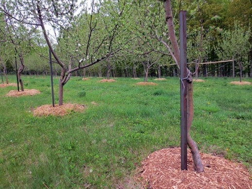 Mulch in the Orchard