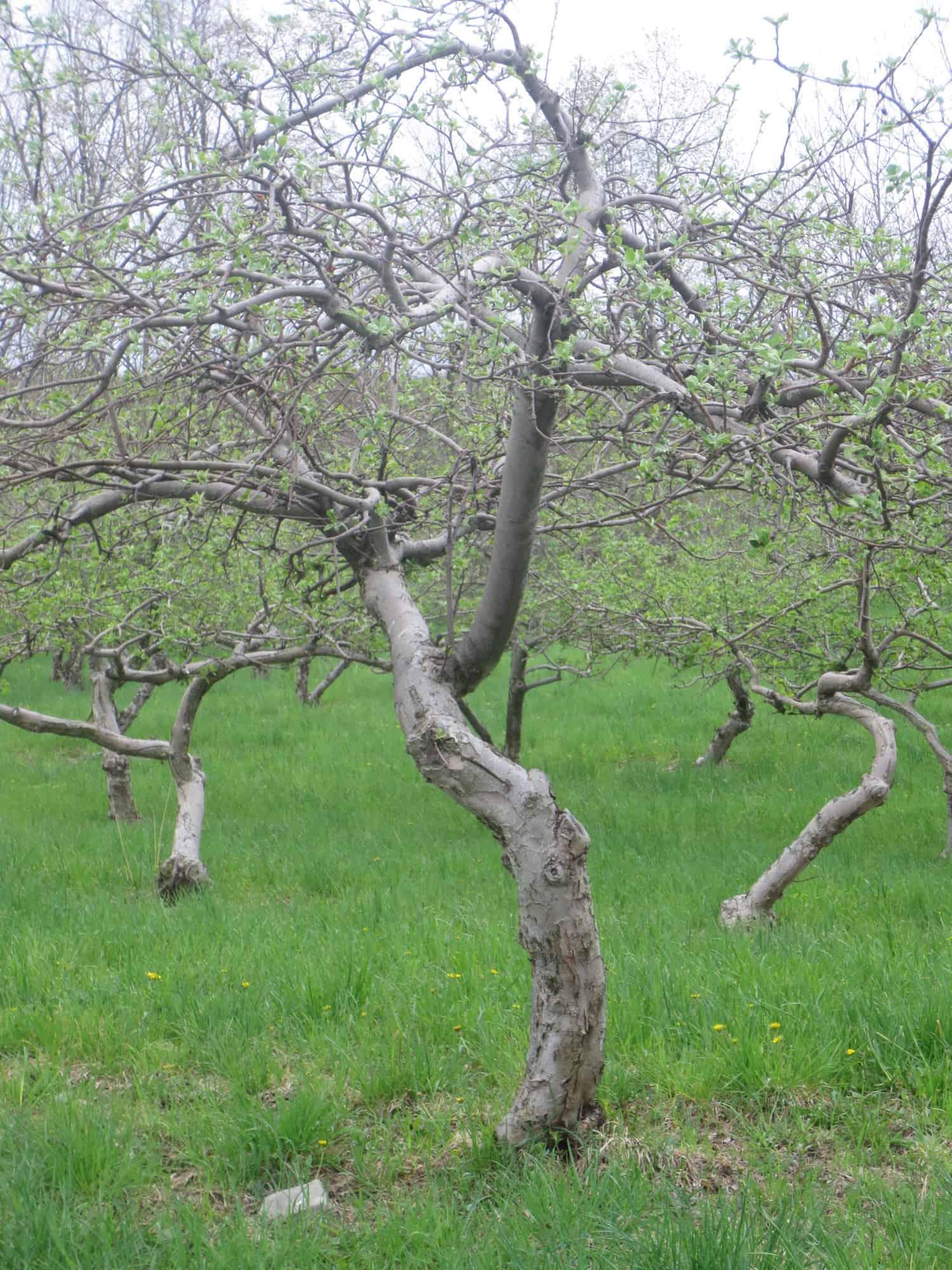 bloom-old-tree-www-evescidery-com