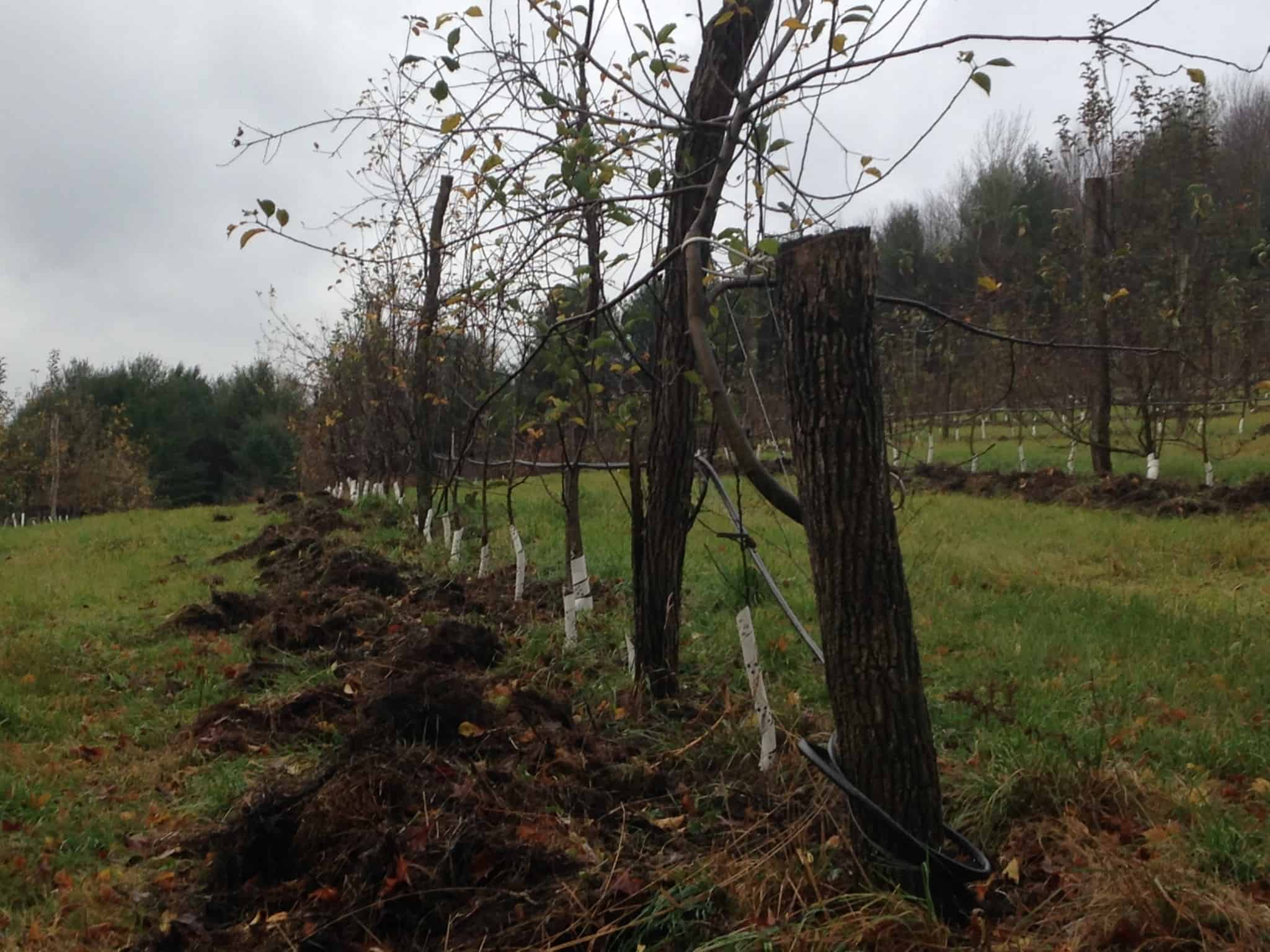 mulch-pulled-in-north-orchard