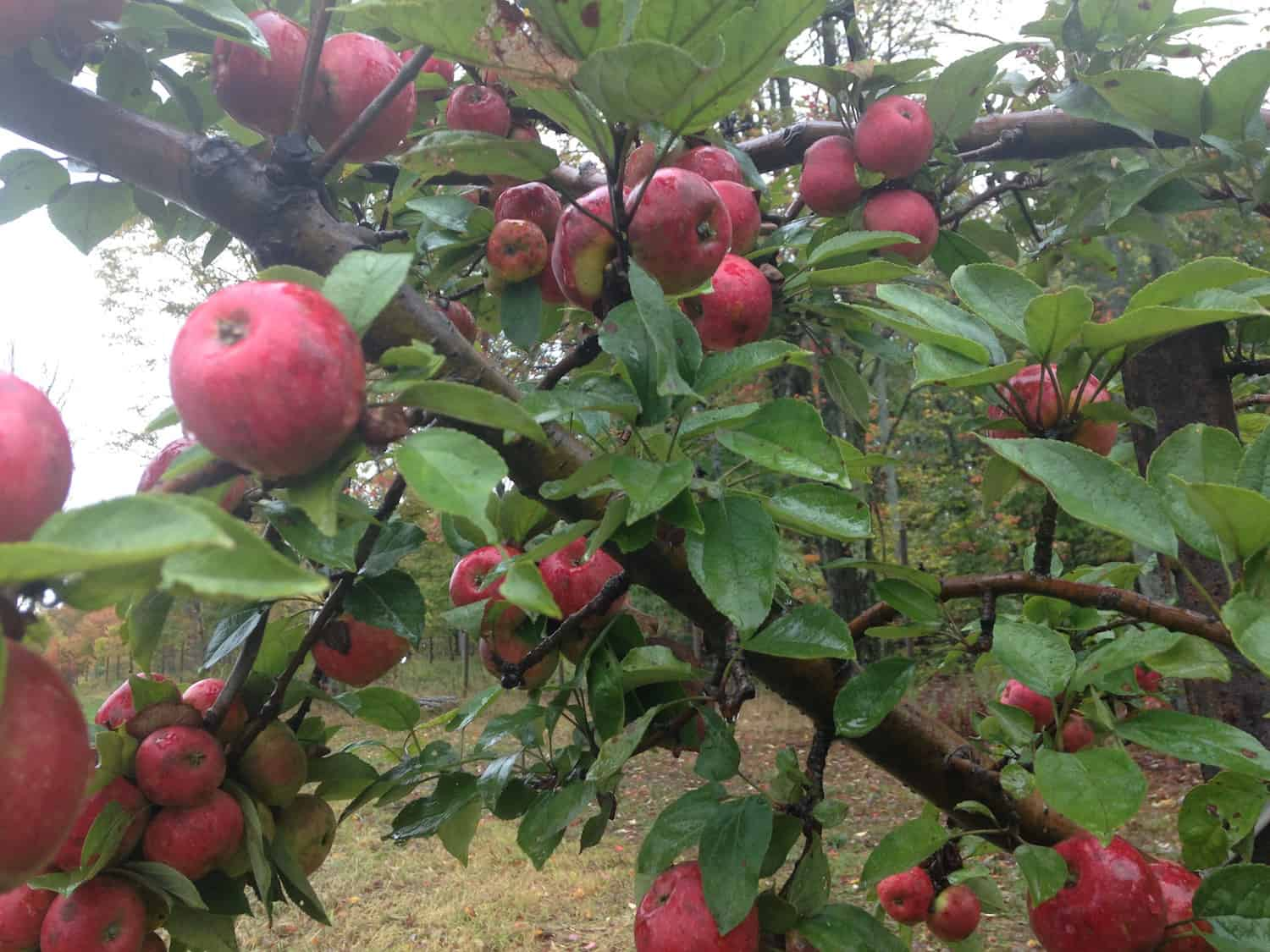 binet-rouge-at-eves-cidery