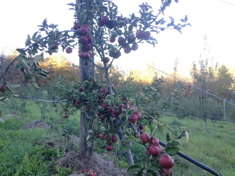dabinett-tree-at-eves-cidery