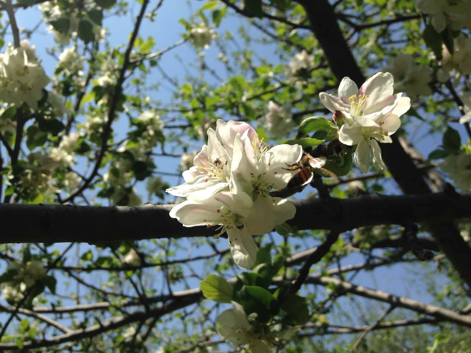 bloom-white-flowers-with-bee-at-eves-cidery