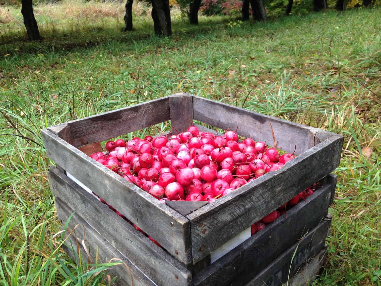 crab-apples-in-a-crate-at-eves-cidery