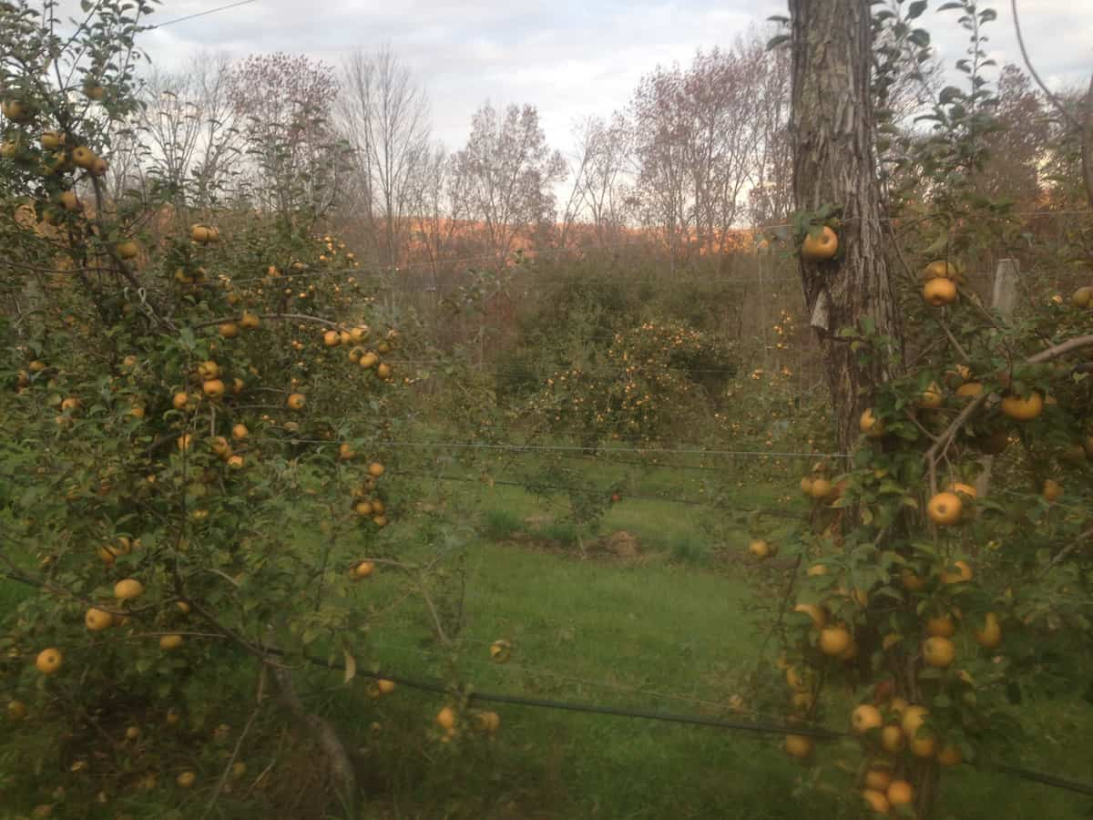 Golden Russets at Eve Cidery