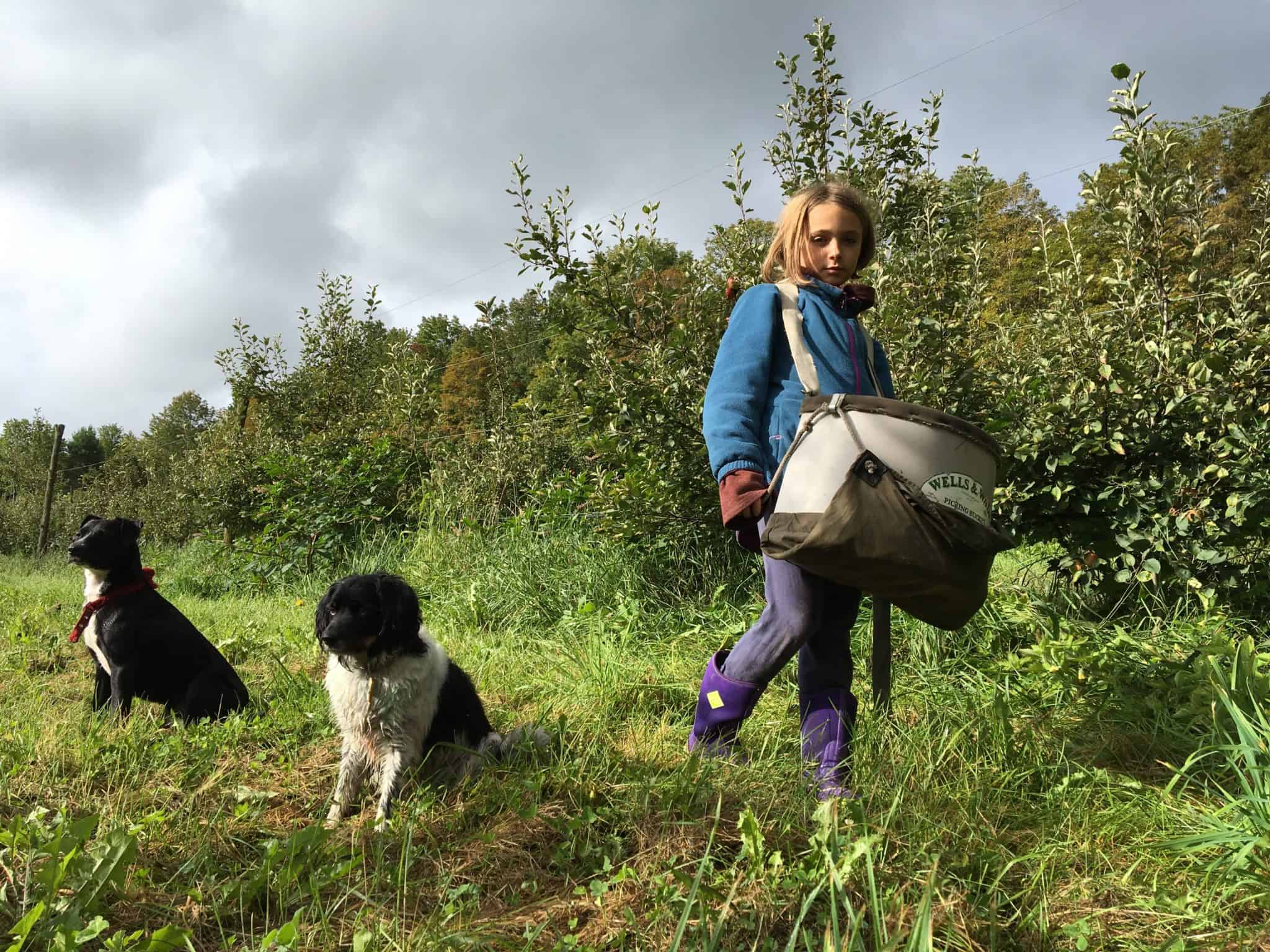 Picking cider apples with dogs.