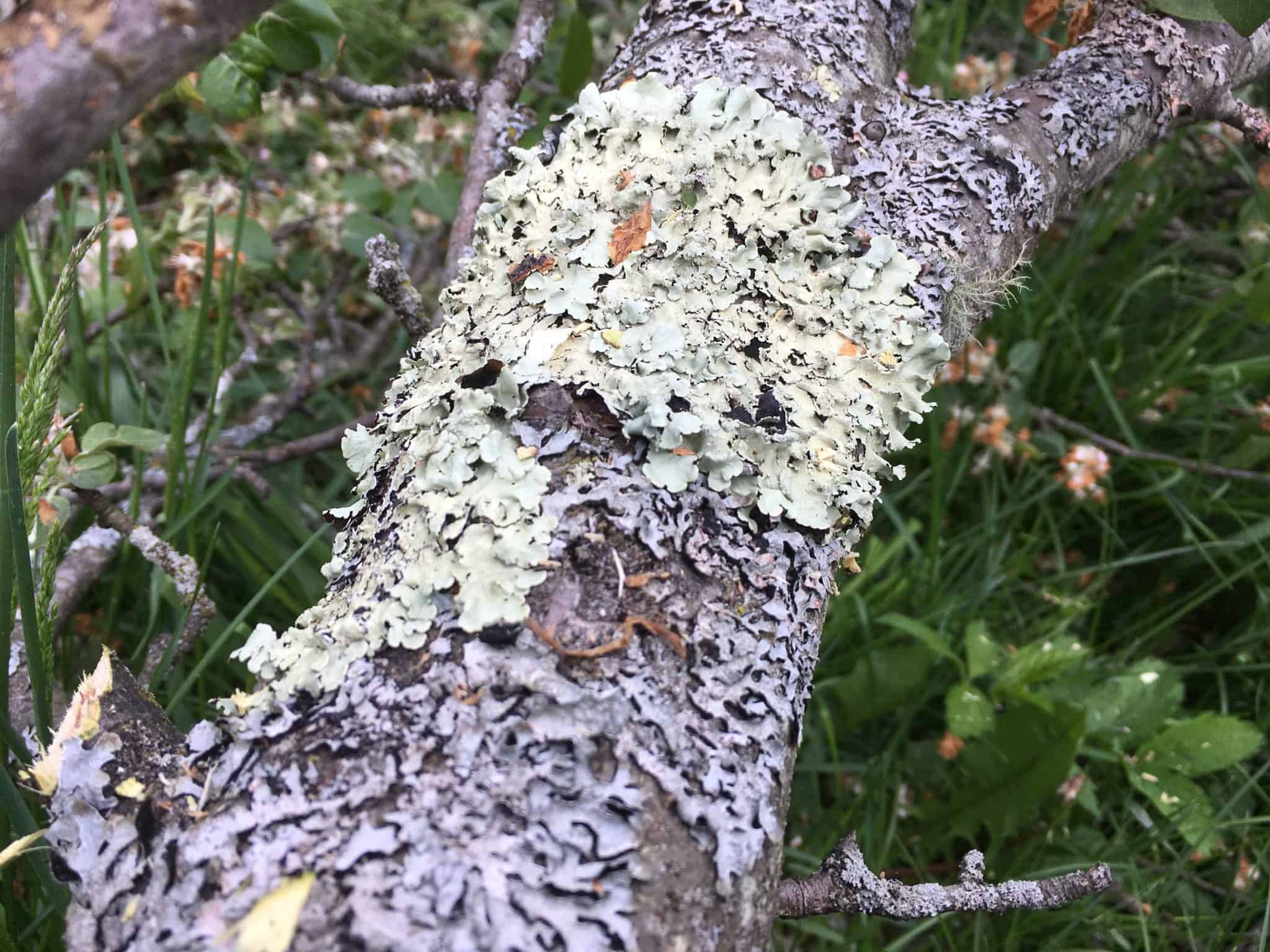 Lichen in the Orchard