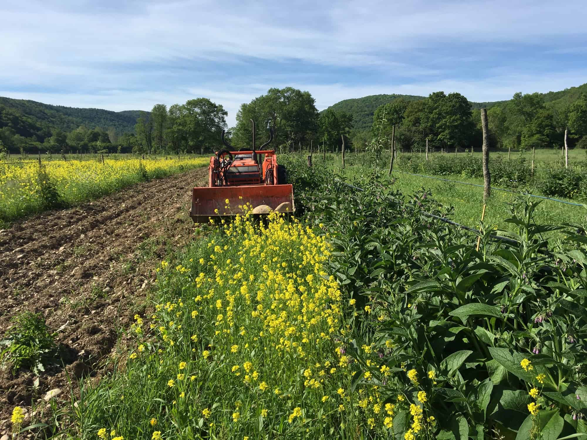Comfrey and Mustard Cover Crops