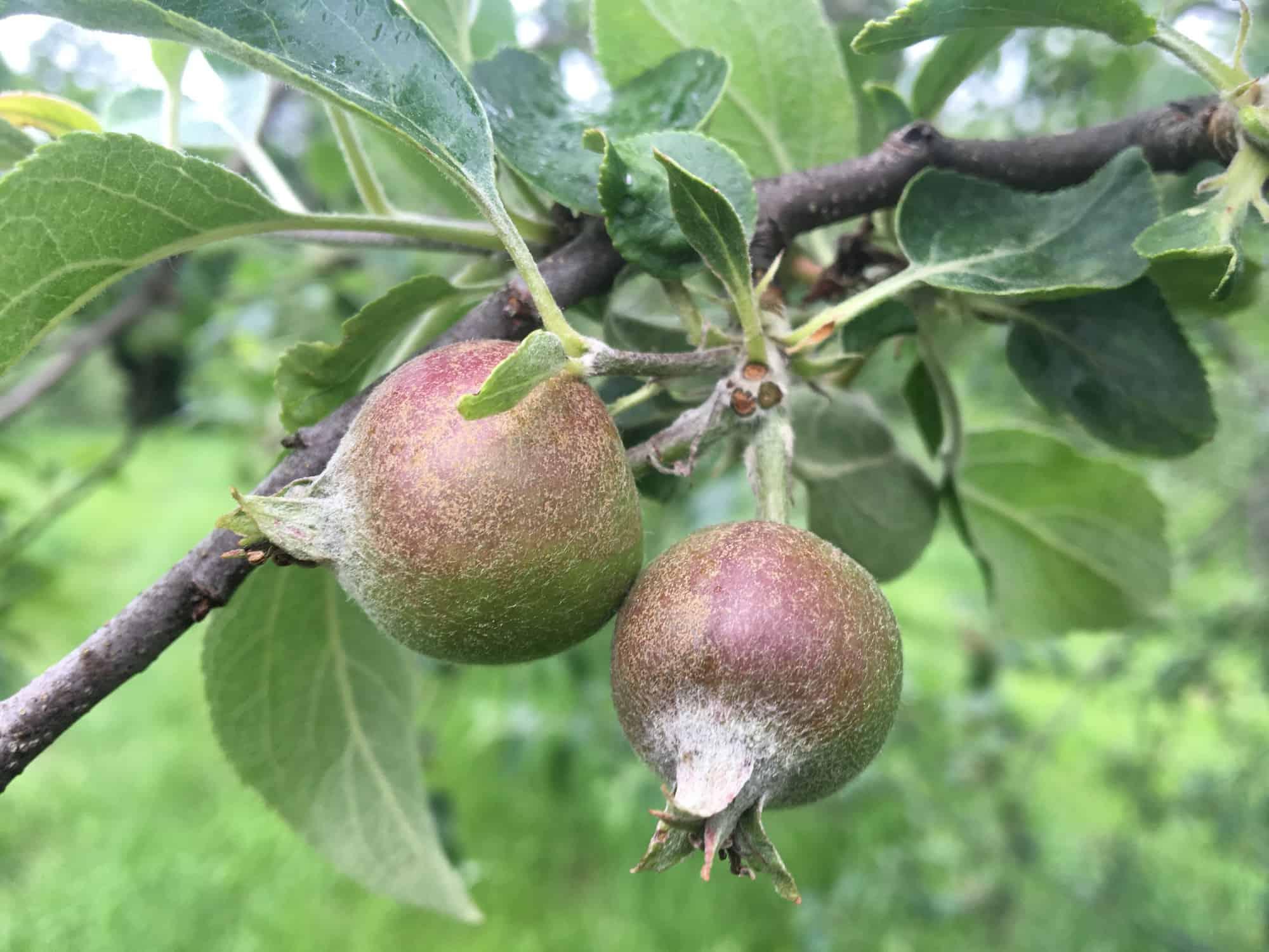 IMG_7346Golden Russet Fruitlets
