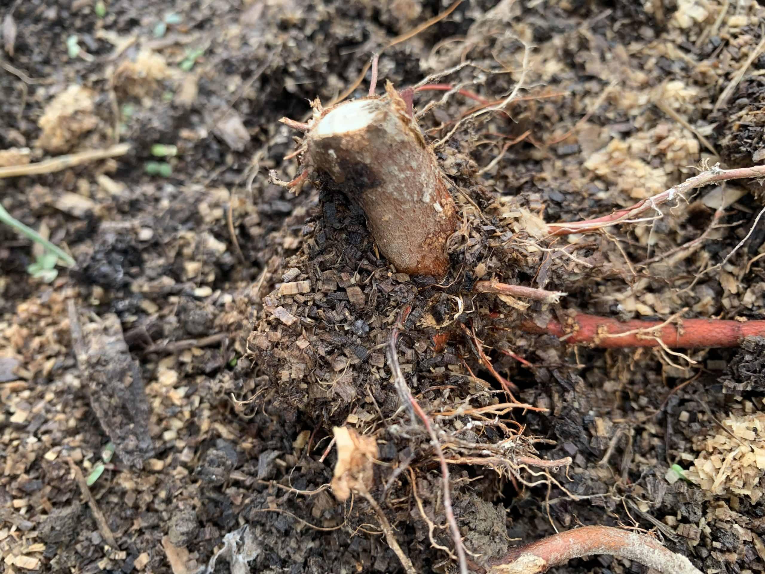rootstock