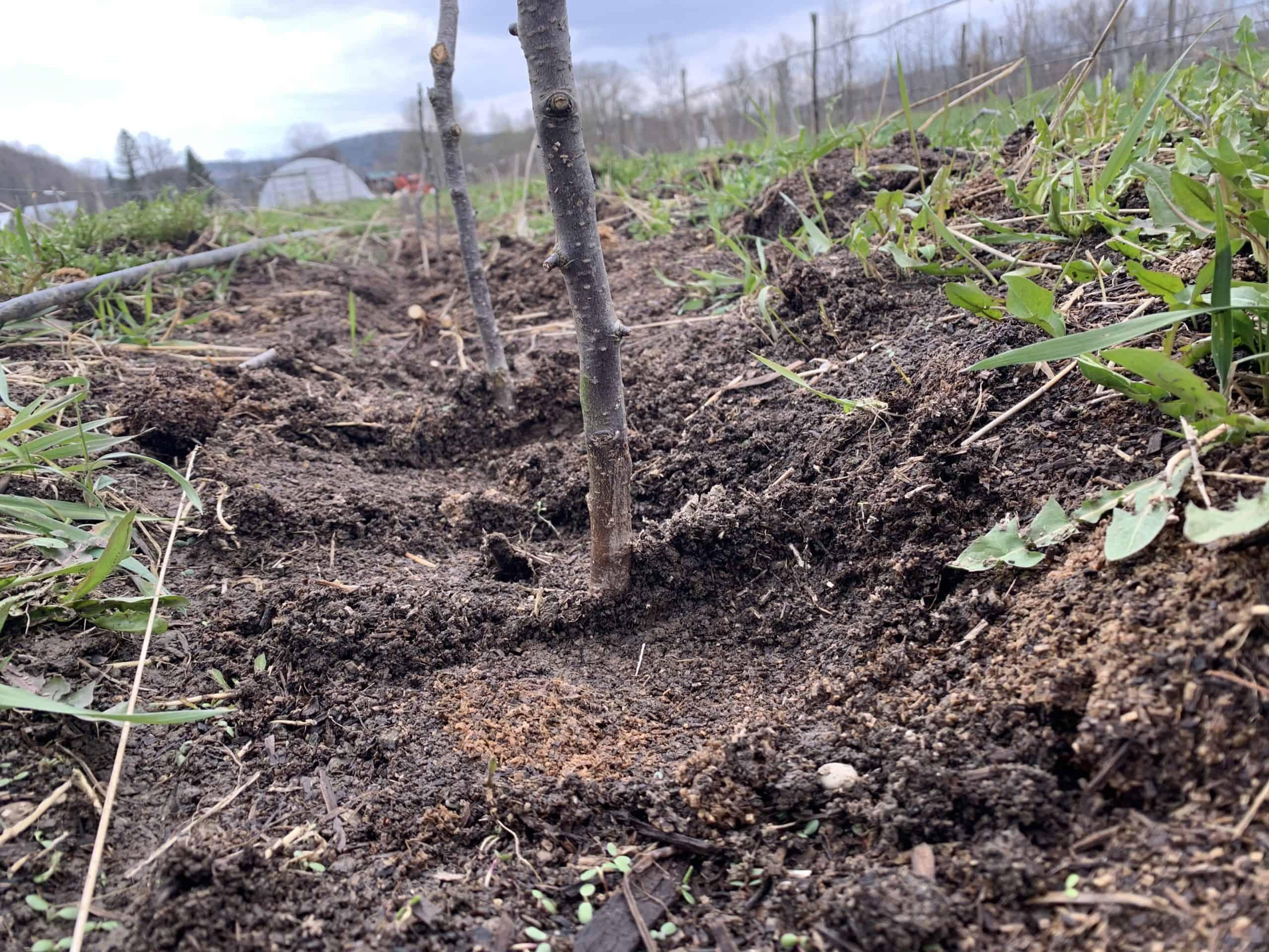row of rootstocks