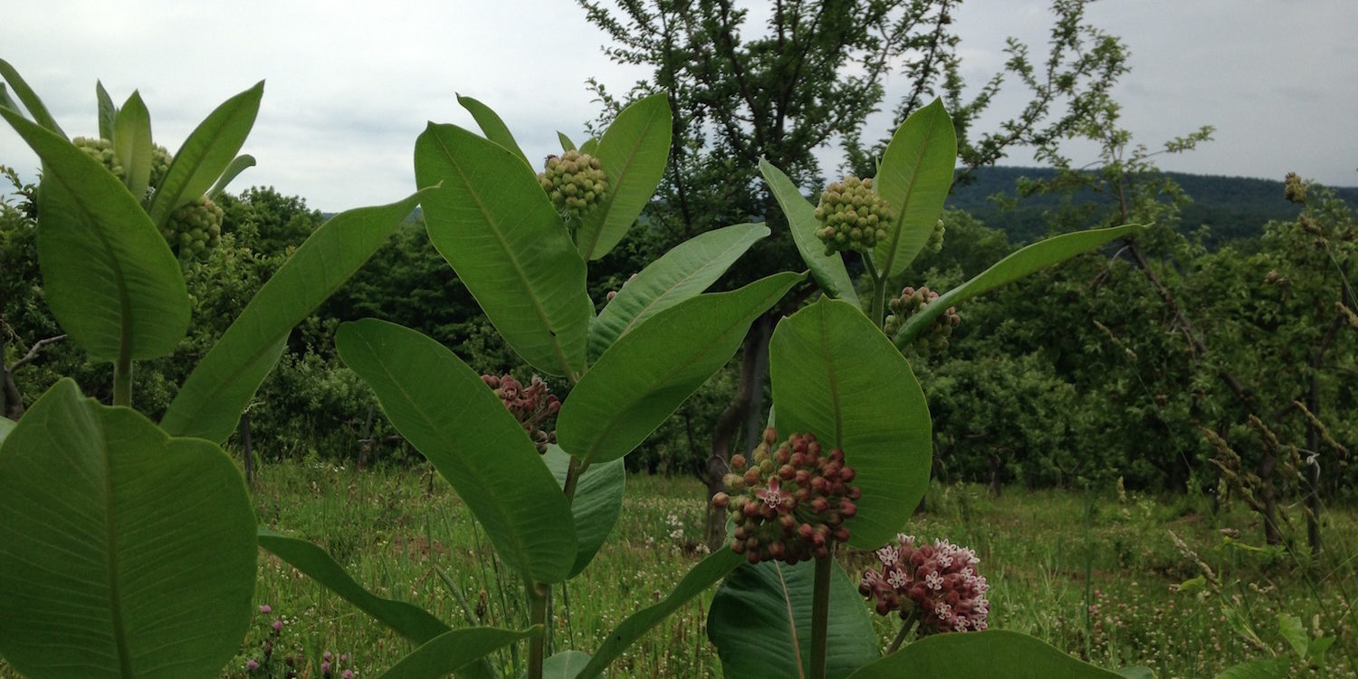 orchard-flowers-milkweed-at-eves-cidery